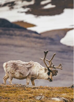 Reindeer spotted on a Quark Expeditions Arctic cruise itinerary