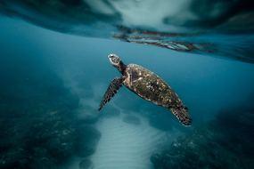 Sea turtle, Galapagos