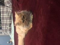 قطط امريكيه ساد فيس