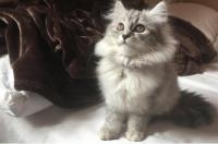 قطط للبيع في الرياض