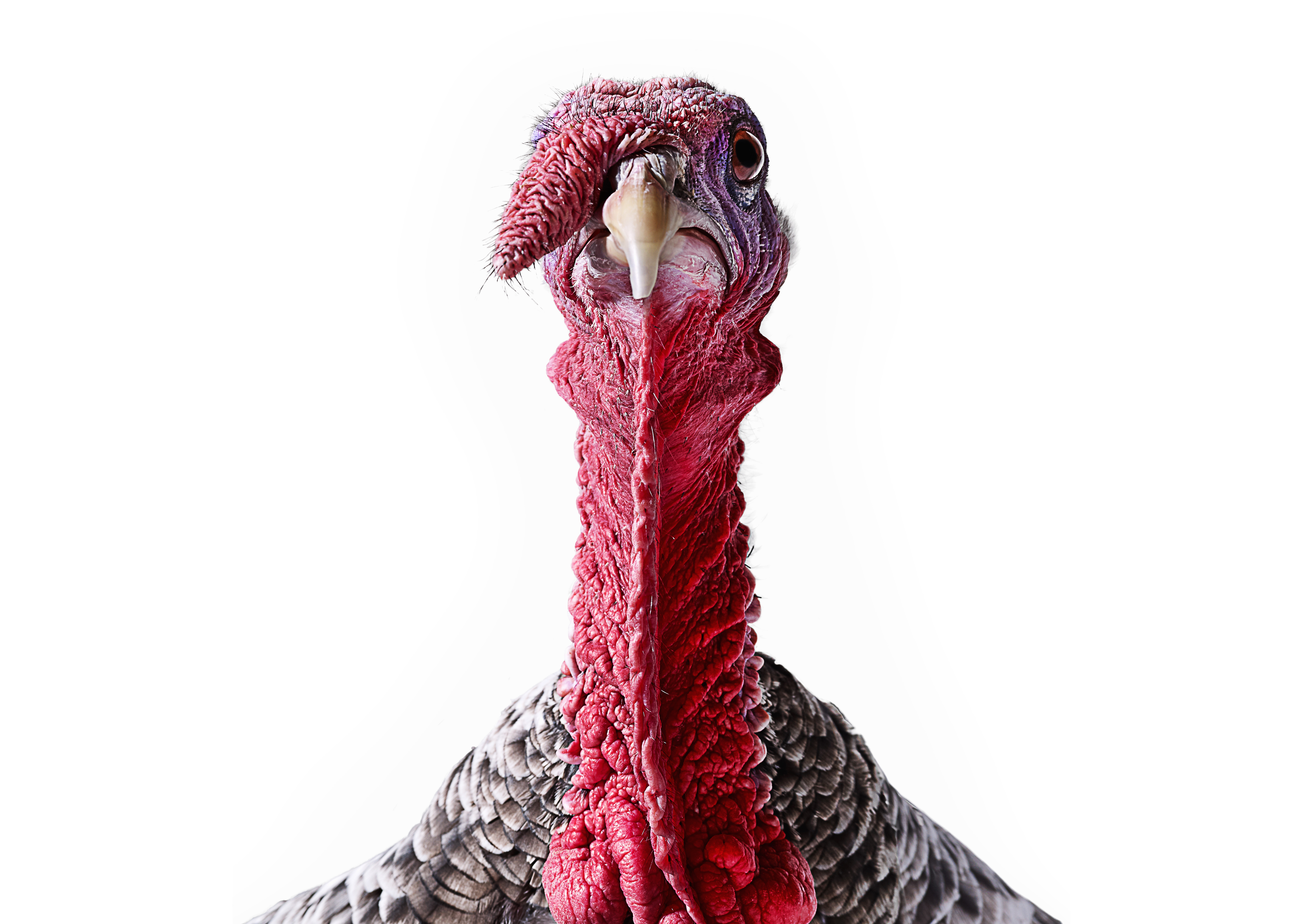 Turkey - Ugly, but good for you-support