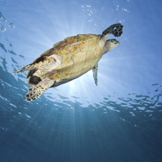 Hawksbill turtle in water
