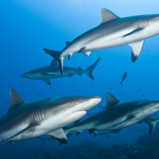 Group of Grey Reef Sharks