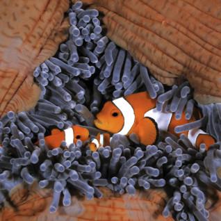 Anemone Clownfish, Komodo, Indonesia