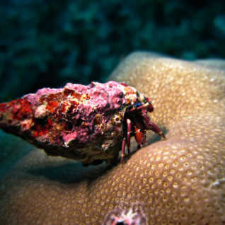 Colourful Hermit Crab, Tanzania