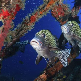 Harlequin Sweetlips, Wreck Diving