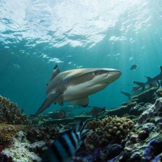 Reef shark, Beqa Lagoon
