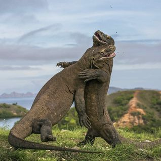 Fighting Komodo Dragons