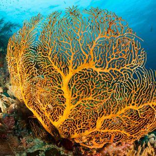 Coral Sea Fan
