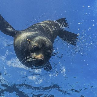 Baby seal diving
