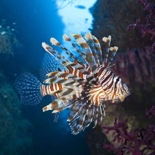 Lion Fish, Moyo Island