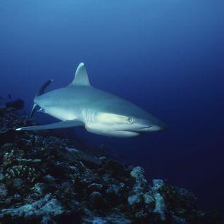 Silvertip Reef Shark, New Ireland, Papua New Guinea
