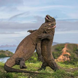 Komodo dragons, Indonesia