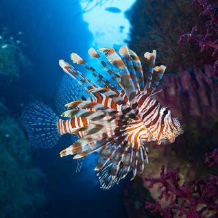 Lion fish, Moyo Island