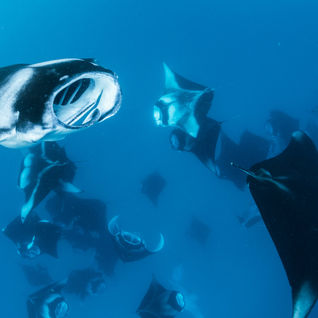 maldives manta rey