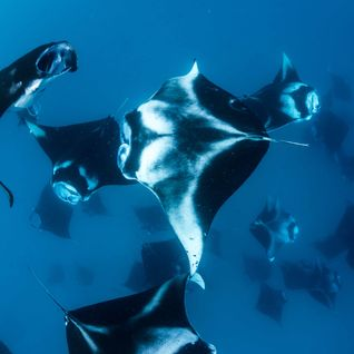 Manta ray in maldives