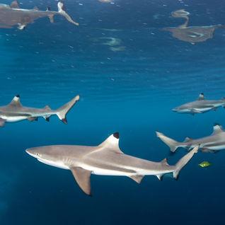sharks in palau