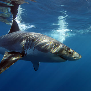 great white sharks cage diving