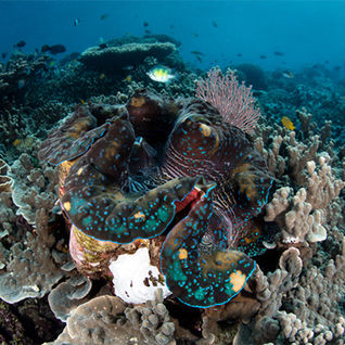 giant clam raja ampat