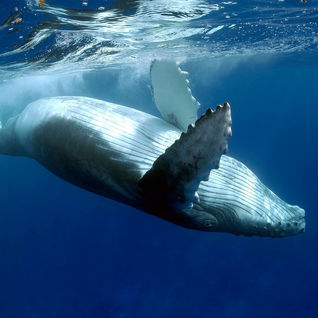 humpback whale listing image