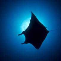 Manta Ray Silhouette, Socorro Island