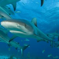 Reef Sharks in Bahamas