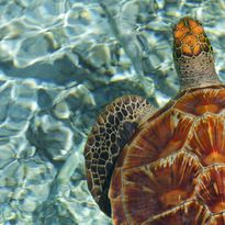 Sea Turtle, French Polynesia
