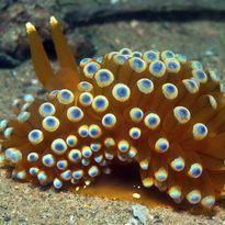 Colourful Nudibranch