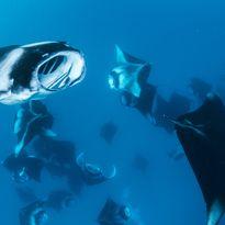 manta rays feeding Maldives