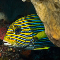 sweetlips diving Raja Ampat