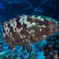 grouper diving Maldives