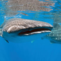 whale shark header