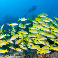 sweetlip fish maldives