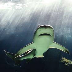 Bull Shark, Bahamas