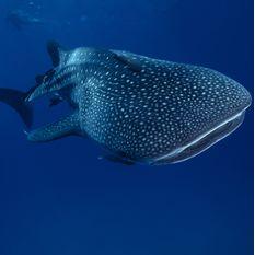 Whale Shark, Djibouti