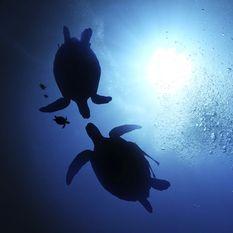 Turtle Swimming, Philippines