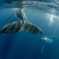 humpbacks swimming