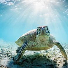 Turtle Under Water