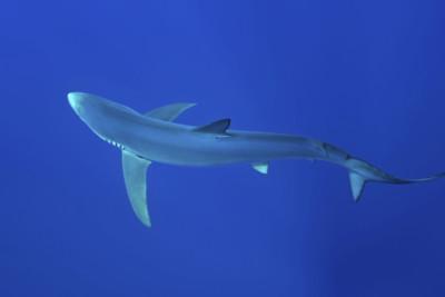 Blue Shark, Azores