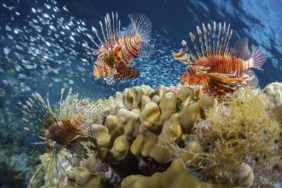 Lion Fish and Coral