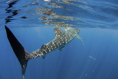 Whale Shark, Philippines