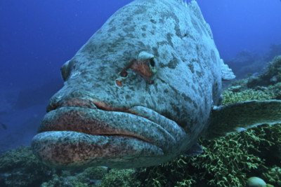Giant potato cod, Great Barrier Reef