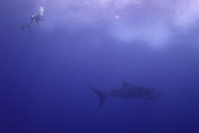 A whale shark in Socorro