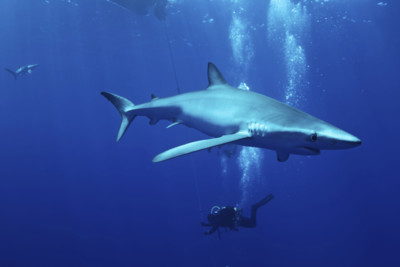 Diver with blue shark in the Azores