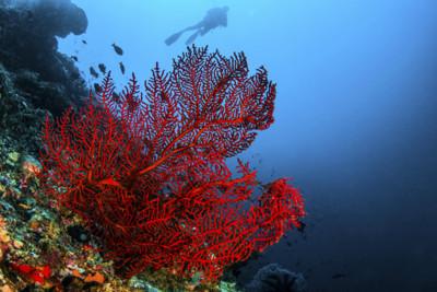 Octo Coral