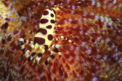 Fire Coral, Komodo, Indonesia