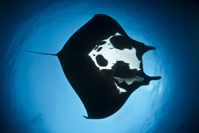 Giant Manta Ray, Mexico