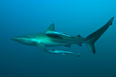 Silky Shark with Young