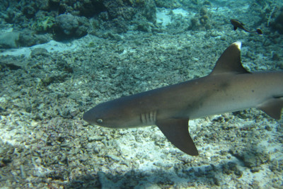 White tip reef shark, Fiji