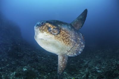 Mola Mola/Oceanic Sunfish